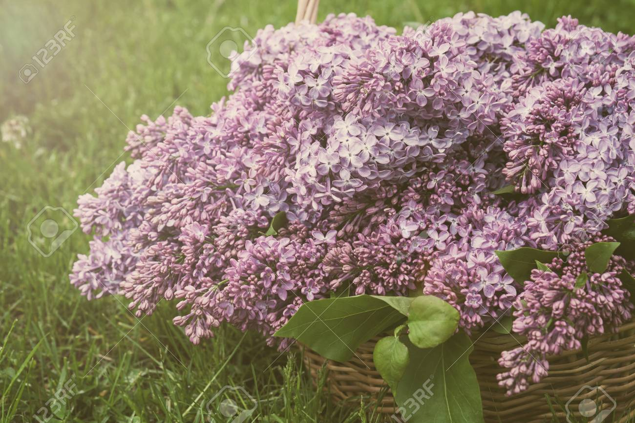 Branches Of Flowering Purple Lilac Syringa In A Basket On A Green ...