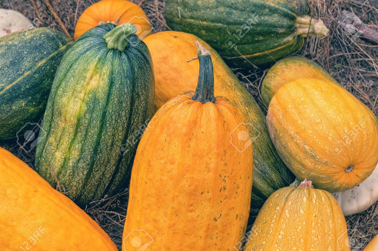 foto de archivo calabazas amarillas y verdes brillantes grandes en la hierba seca fondo de halloween otoo la coloracin y tratamiento de fotografas