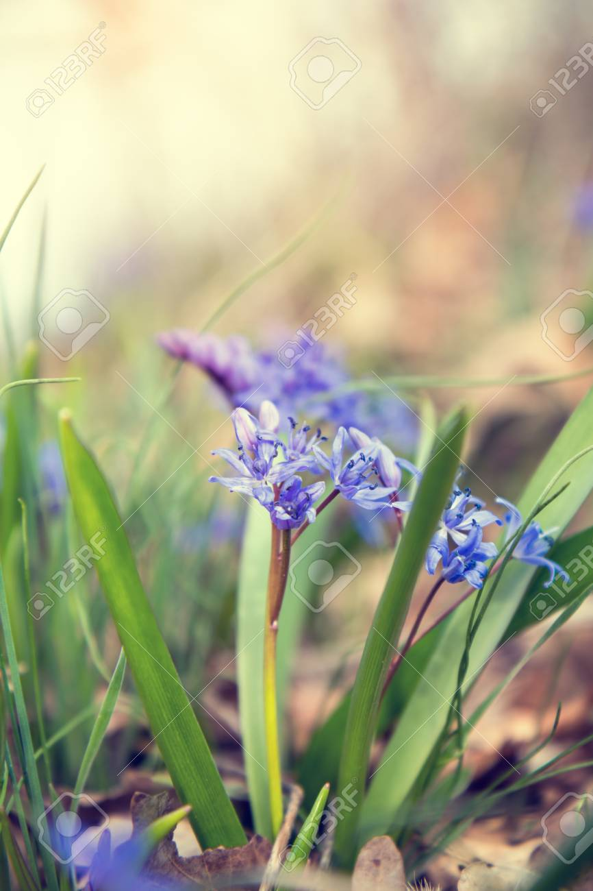 Beautiful Spring Flowers Nature Background Wild Growing Blue