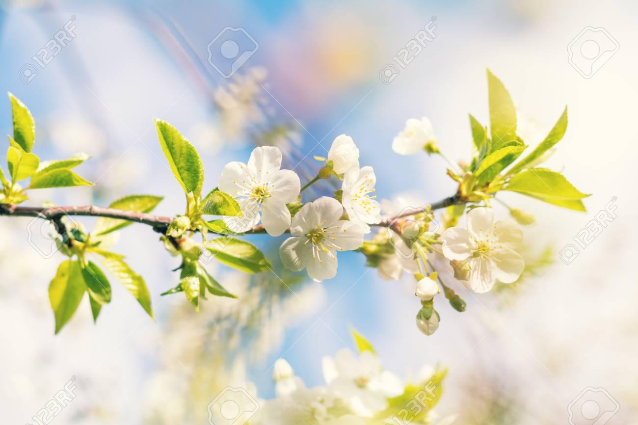 Art De Fond De Printemps Avec Une Fleur De Cerisier Blanc Belle