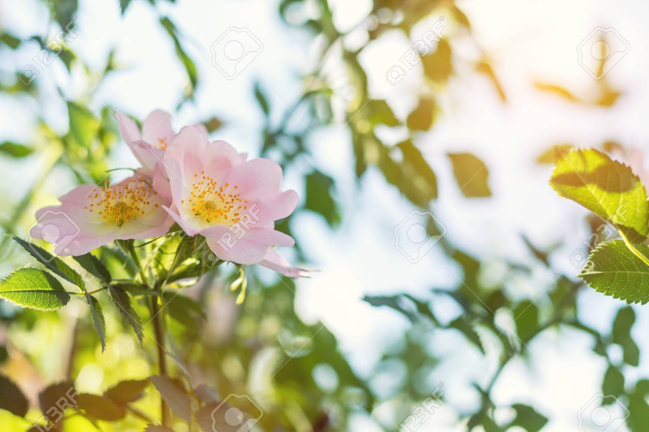 Beautiful summer scene with dog-rose flowers on blue sky background. Toned photo. Shallow depth of the field. Stock Photo - 93154223