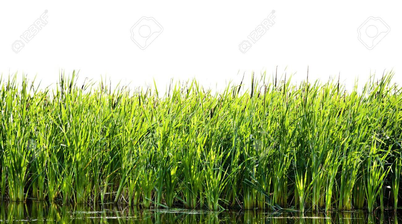 River cane Stock Photo - 5175746