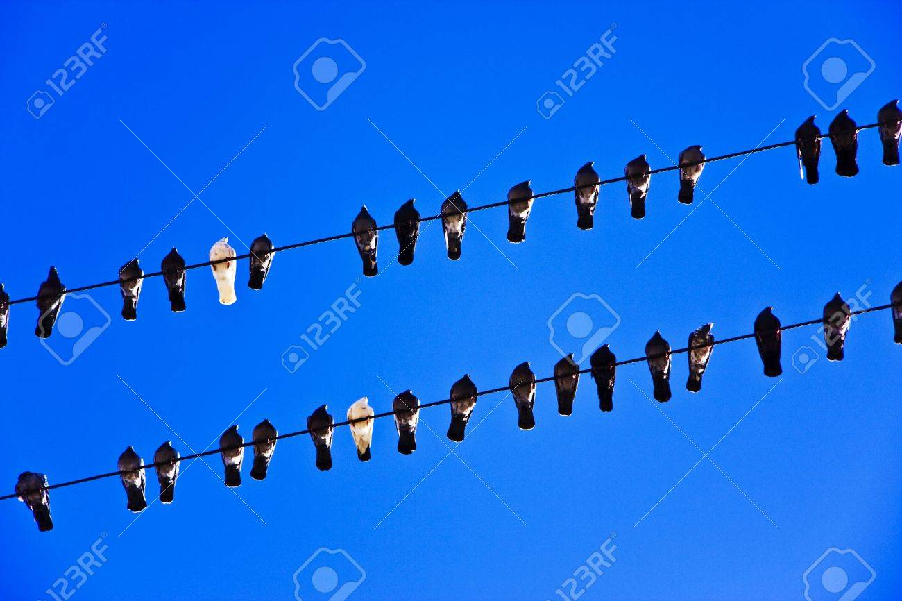 picture of the pigeons sitting on the electric lines Stock Photo - 2612939
