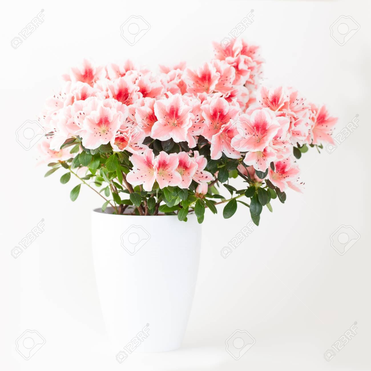 Plante Fleur Azalee Rose Et Blanche En Pot Blanc Sur Fond Clair