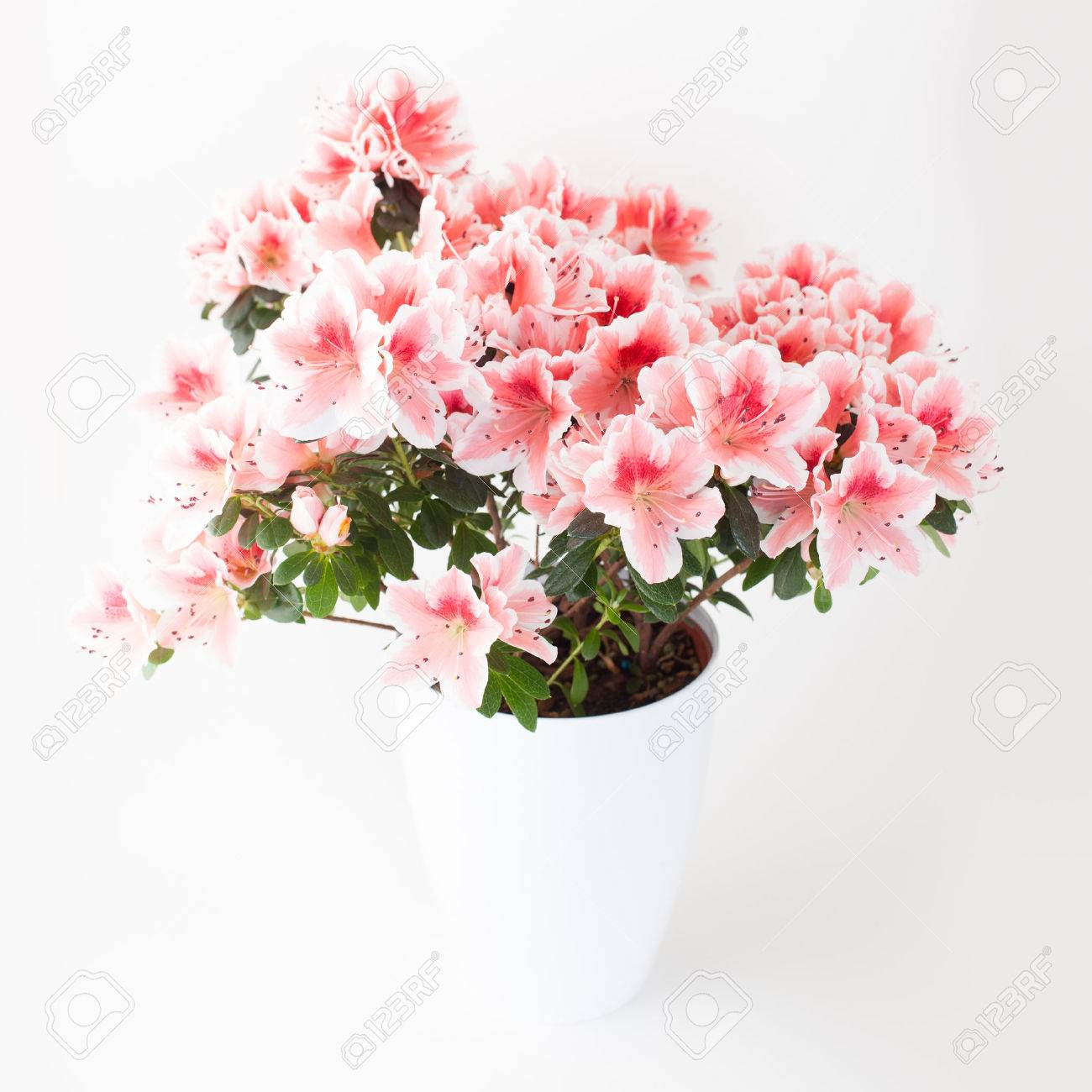 Pink and white azalea flower plant in white pot on light background pink and white azalea flower plant in white pot on light background stock photo 57760383 mightylinksfo