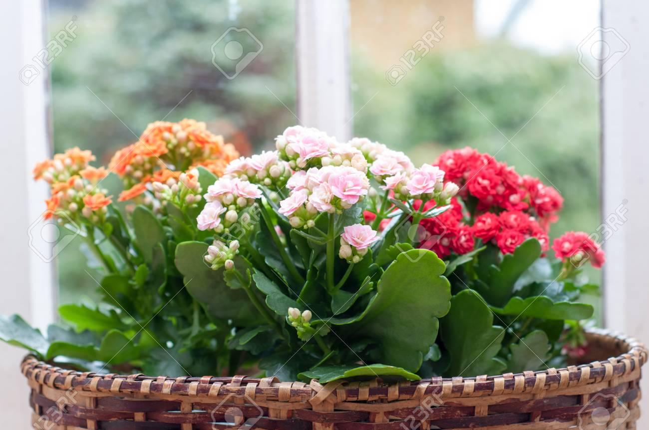 Schone Kalanchoe Calandiva Blumen Auf Fensterbank Lizenzfreie Fotos