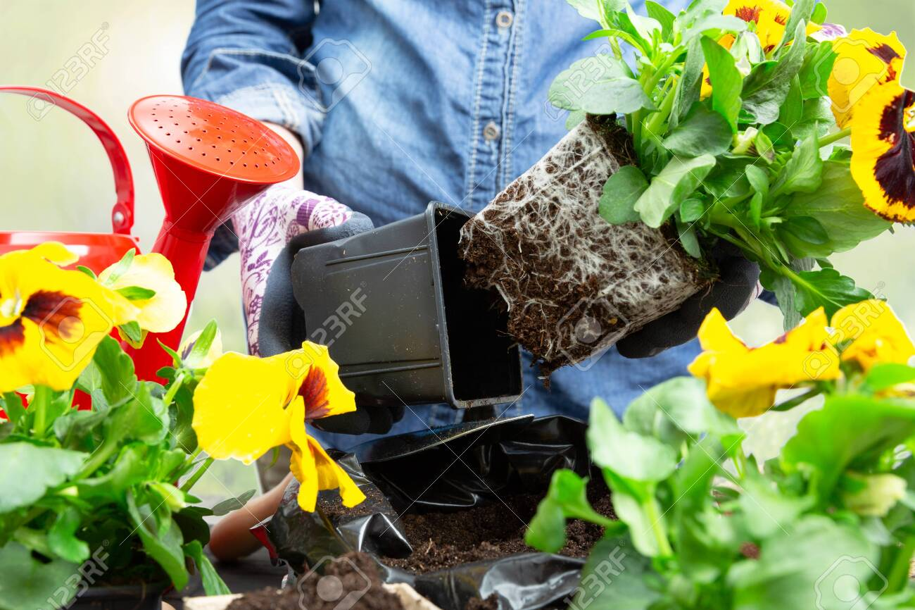 Gardener woman taking pansy plant out of plastic pot to plant it into the garden. Planting spring pansy flower in garden. Gardening concept - 121889433