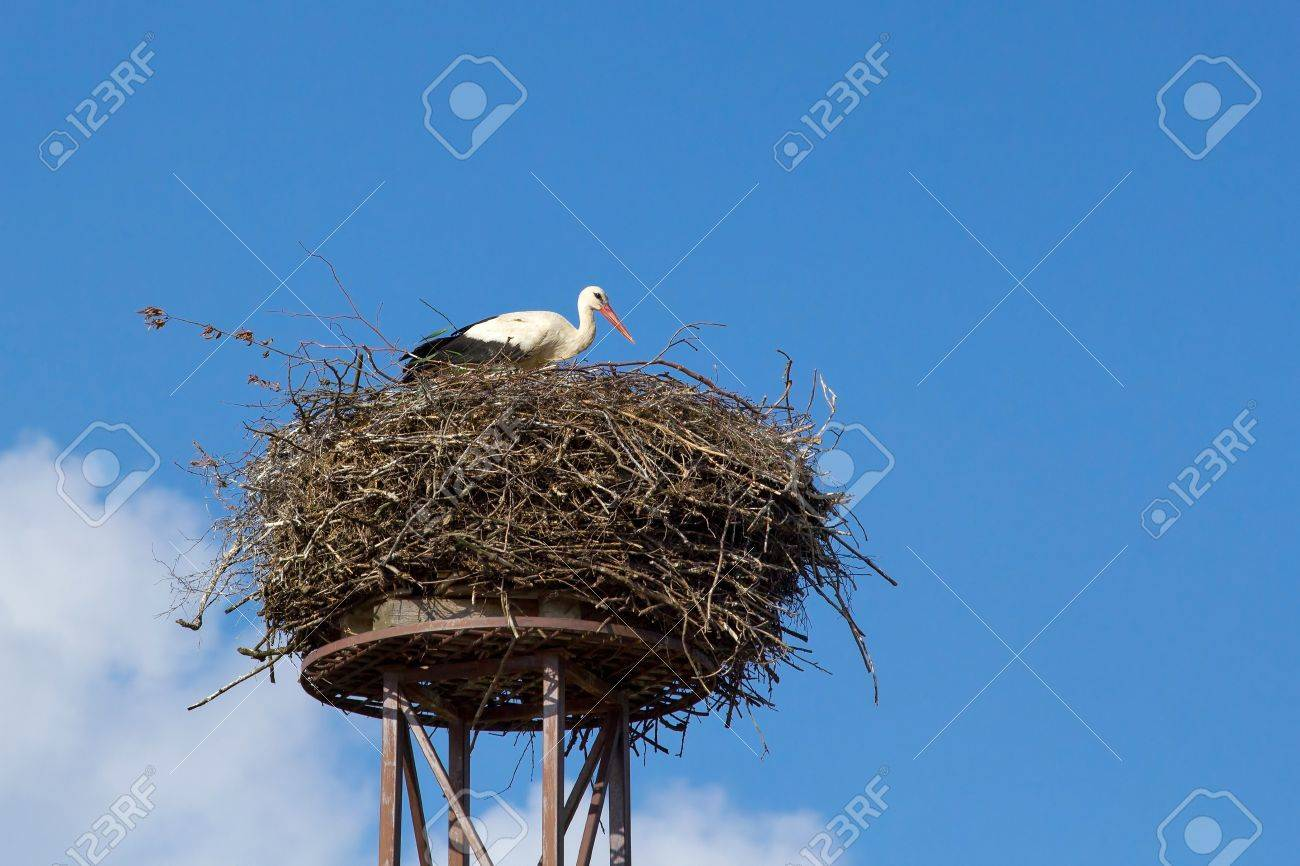 a mother white stork Ciconia ciconi bird on a chimney - 12343123