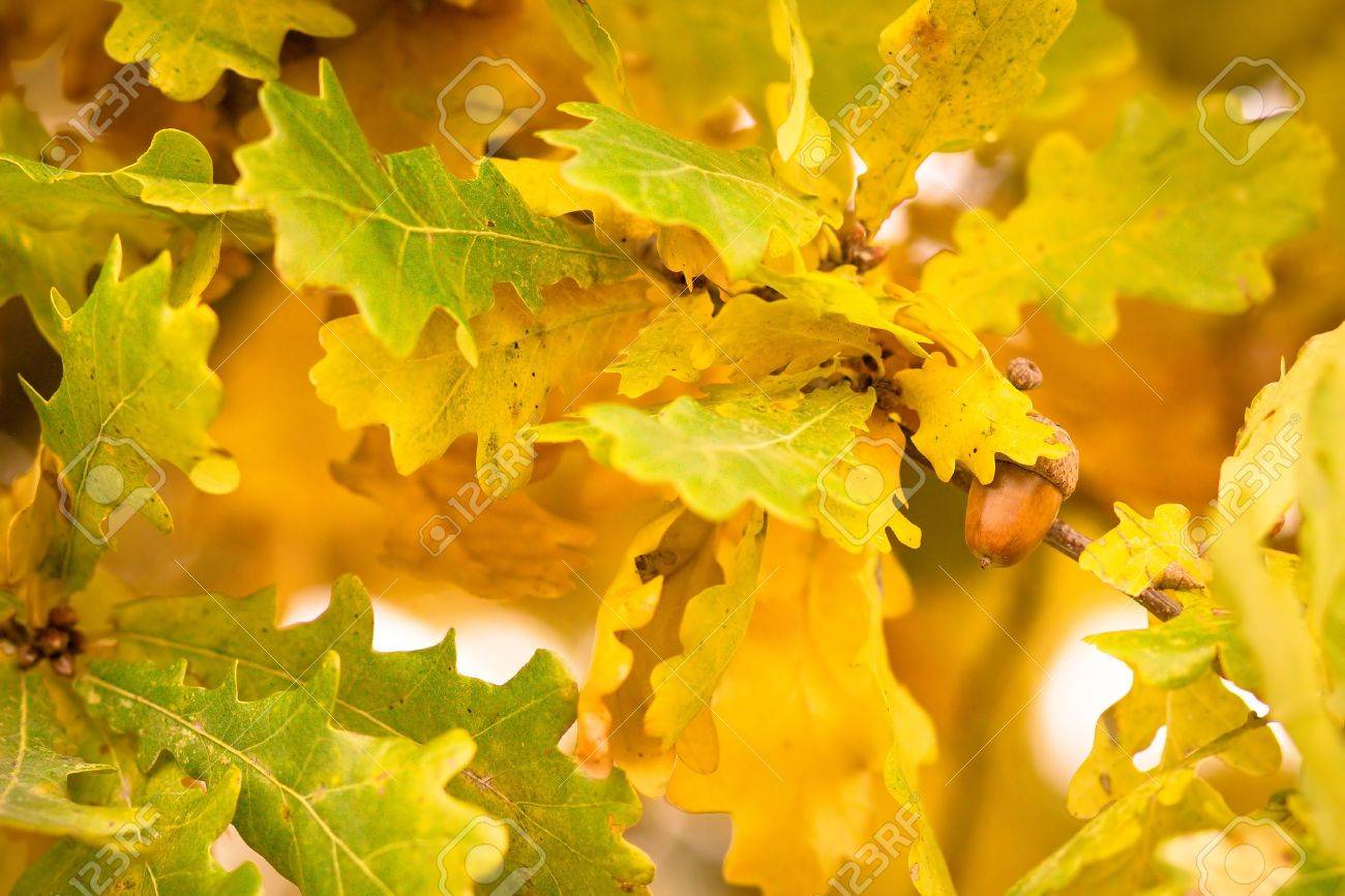 gold autumn colors of oak leaves with acorn stock photo picture