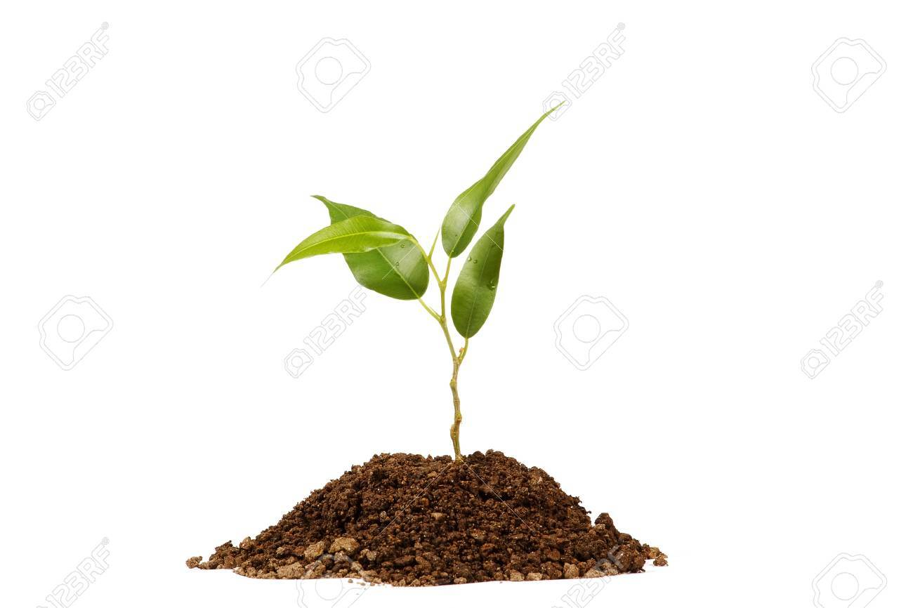 Young green plant on a white background - 12900041