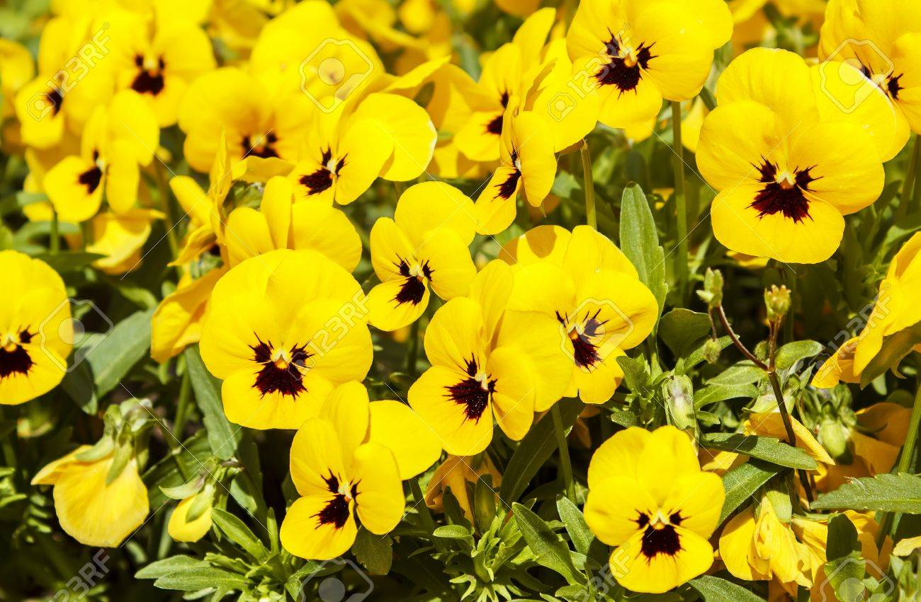 Yellow Pansy Flowers At Spring In The Garden Stock Photo Picture