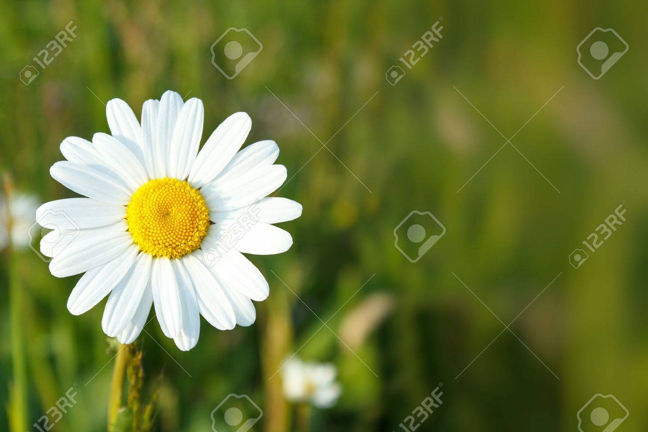 close up of white marguerite flowers with shallow focus - 14403648