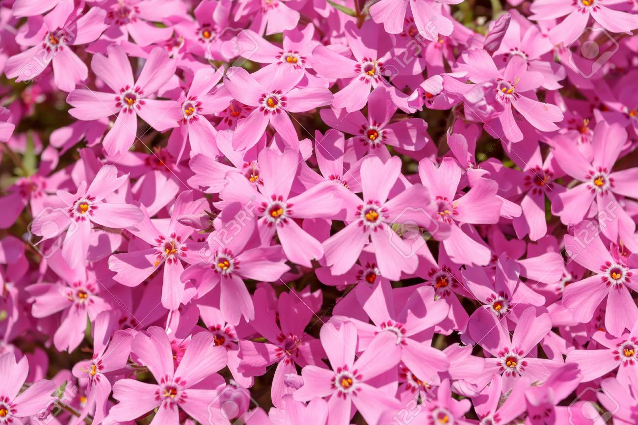 Pink Flowers For Natural Background Or Backdrop Stock Photo Picture