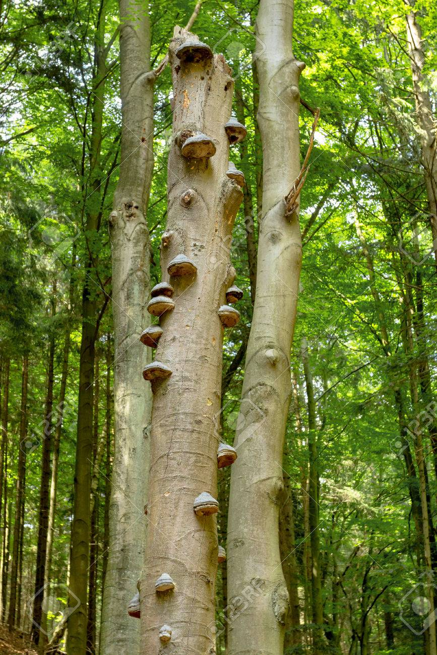 Polyporus squamosus mushrooms growing on a dead tree in the forest , Doubrava valley, Czech Republic Stock Photo - 27283578