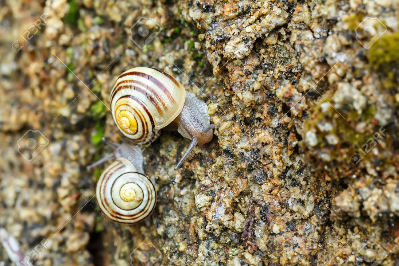 Macro Of Two Small Garden Snails On Stone Stock Photo, Picture And ...