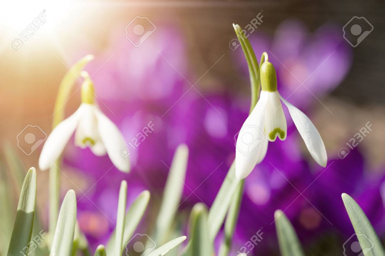 First Flower Galanthus Snowdrop Bloom In Spring Garden With Violet