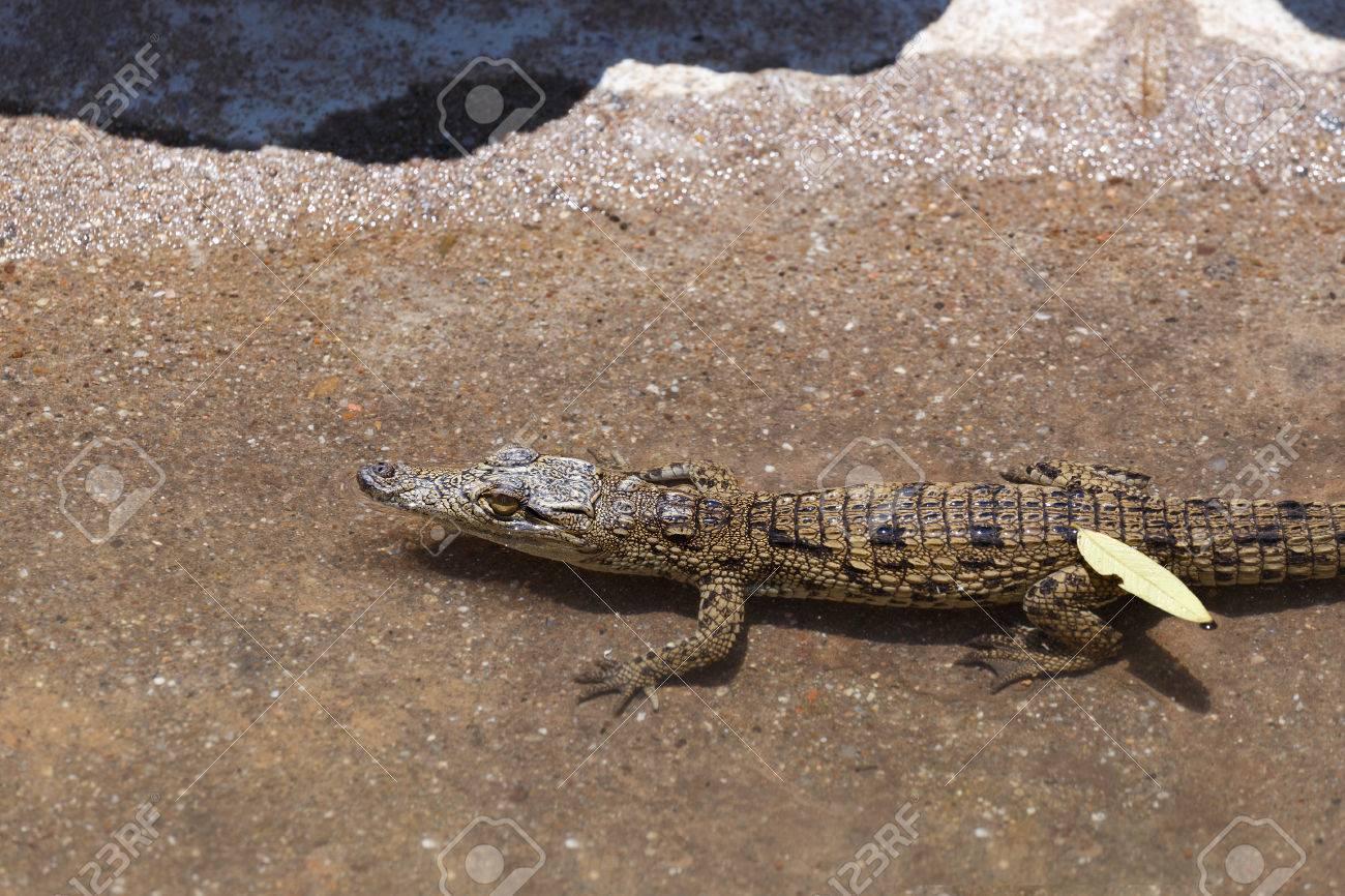 f98289e251fd Small Baby Of A Nile Crocodile Crocodylus Niloticus
