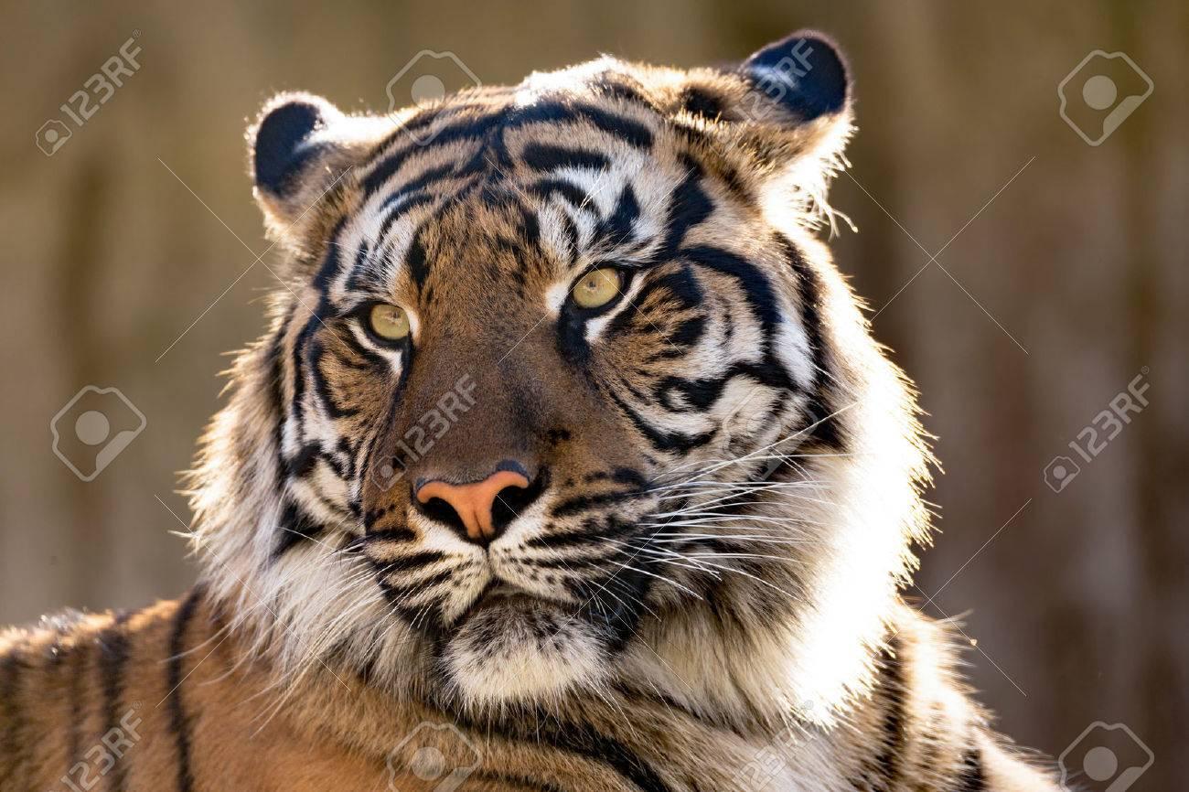 Sumatran tiger (Panthera tigris sumatrae) is a rare tiger subspecies that inhabits the Indonesian island of Sumatra - 47843094