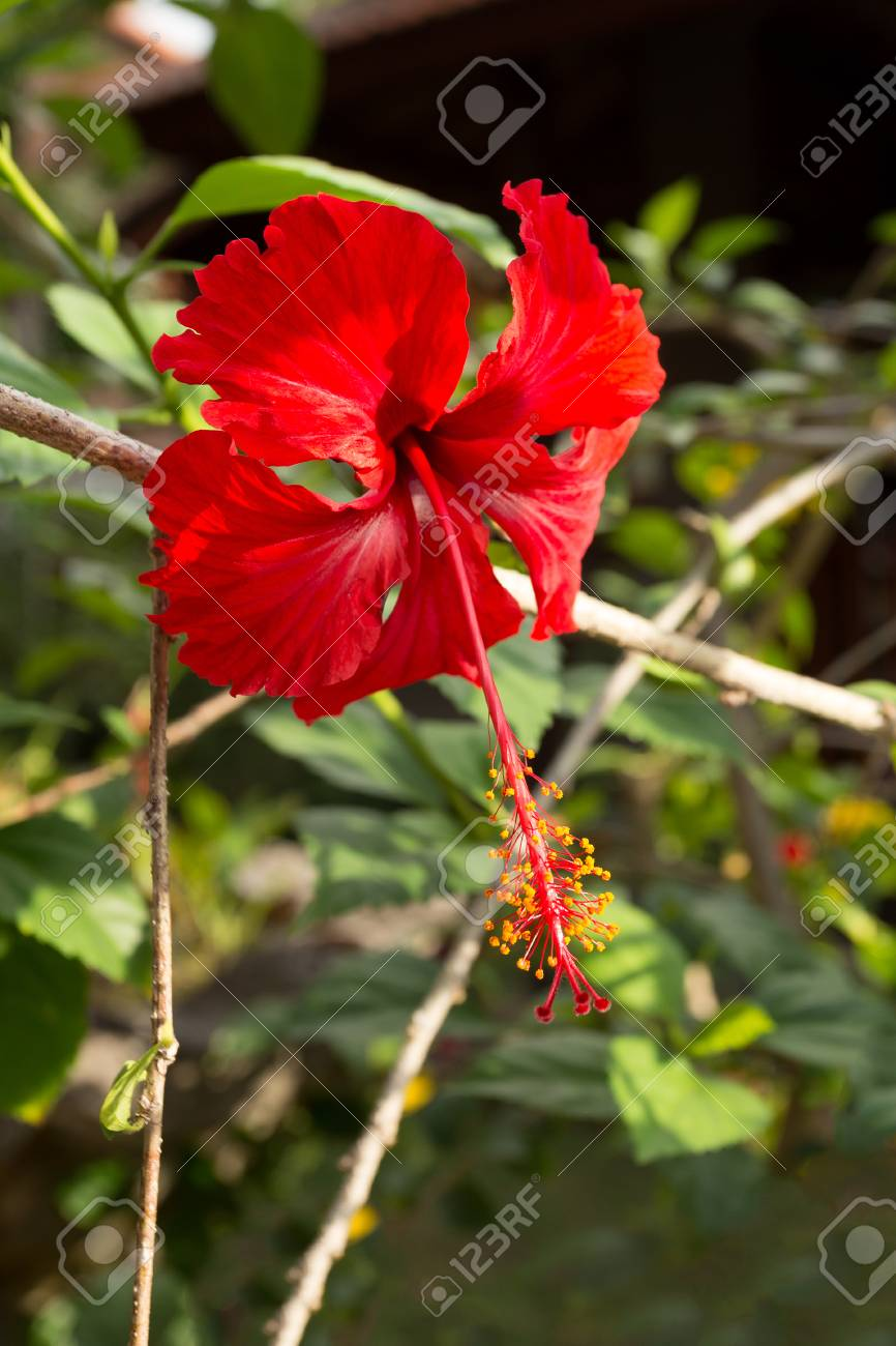 Dew on red hibiscus flower with leaves hibiscus rosa sinensis dew on red hibiscus flower with leaves hibiscus rosa sinensis red cultivar indonesia izmirmasajfo