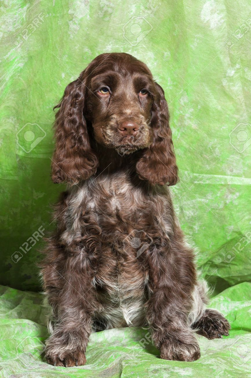 brown english cocker spaniel puppy on green background stock photo