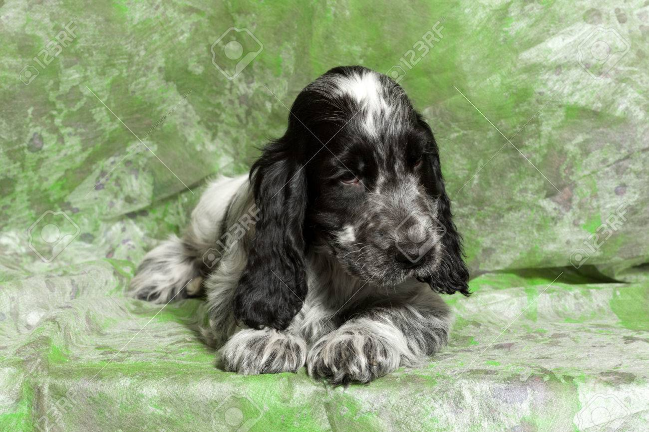 Blue Black And White English Cocker Spaniel Puppy On Green Stock Photo Picture And Royalty Free Image Image 52494984