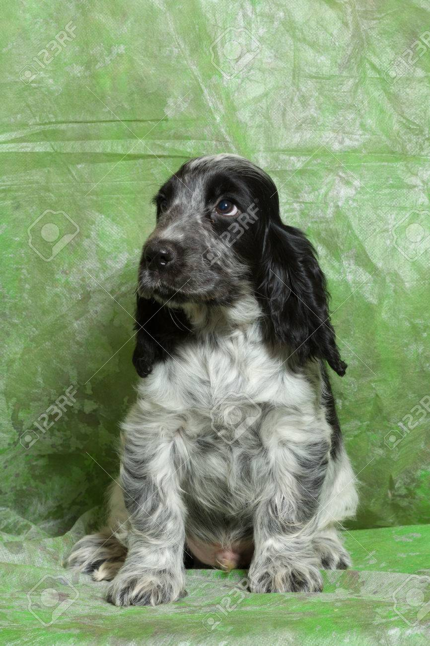 Blue Black And White English Cocker Spaniel Puppy On Green Stock Photo Picture And Royalty Free Image Image 52459469