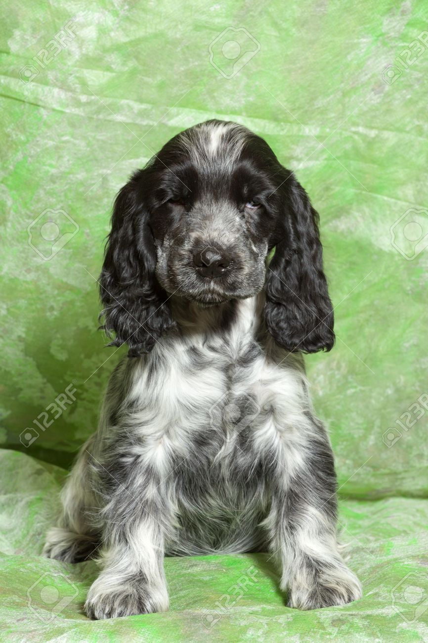 Blue Black And White English Cocker Spaniel Puppy On Green Stock Photo Picture And Royalty Free Image Image 52495234