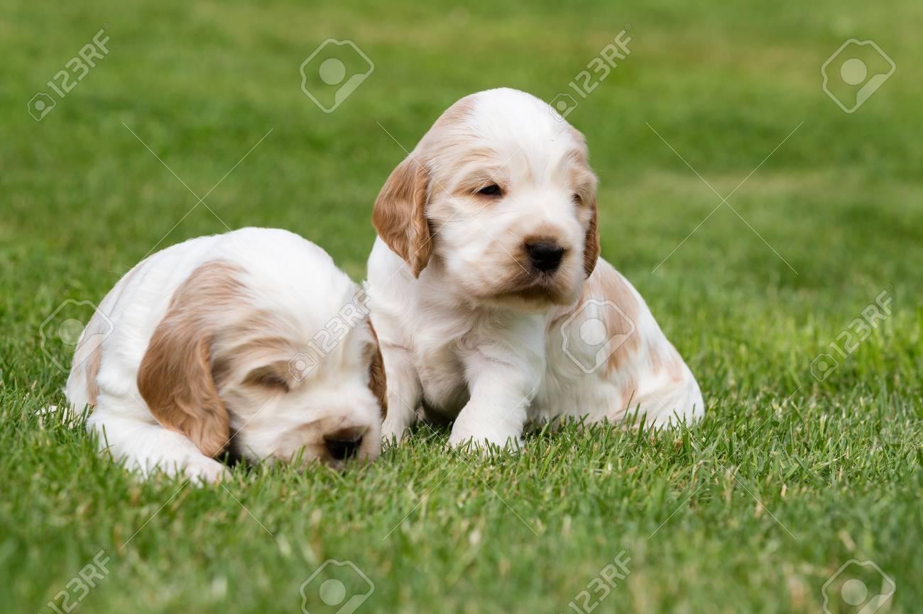 Immagini Stock Due Piccoli Di Razza Cucciolo Di Cocker Spaniel