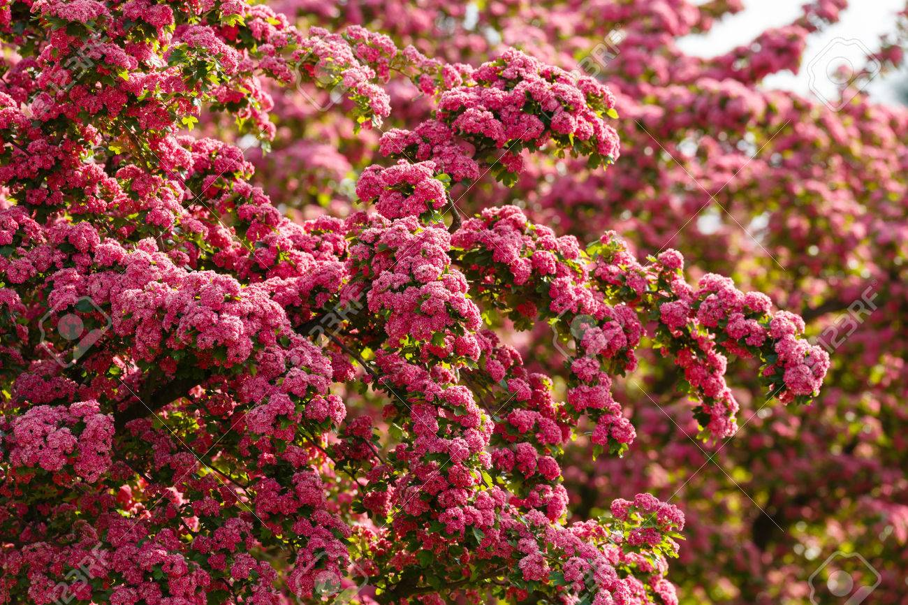 Pink Flowers Hawthorn Tree Crataegus Laevigataspring Natural
