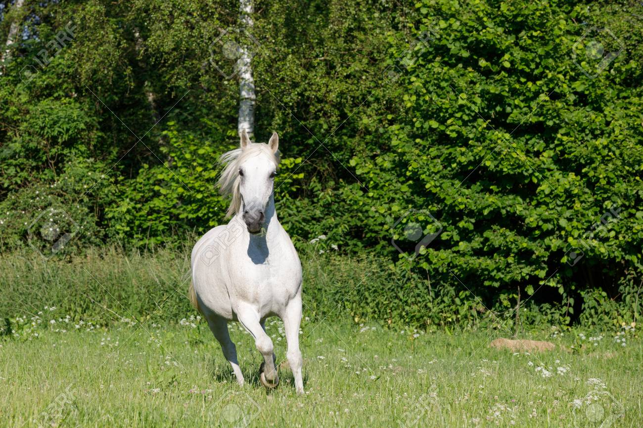 Beautiful White Horse Free Running In Spring Pasture Meadow Stock Photo Picture And Royalty Free Image Image 80913583
