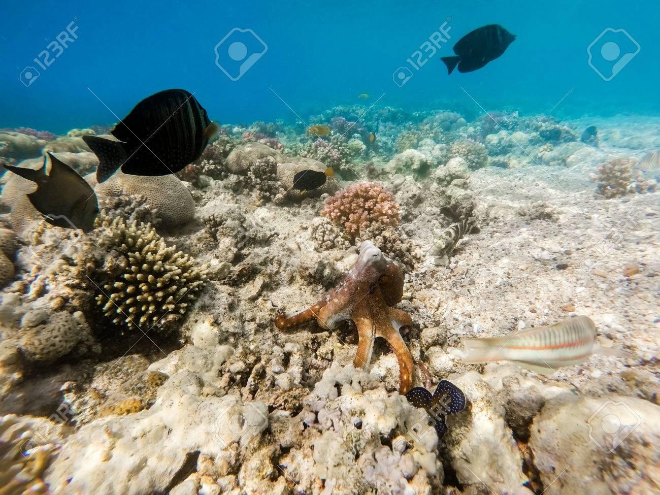 Pulpo De Arrecife (Octopus Cyanea) Conocido Como El Pulpo Azul ...