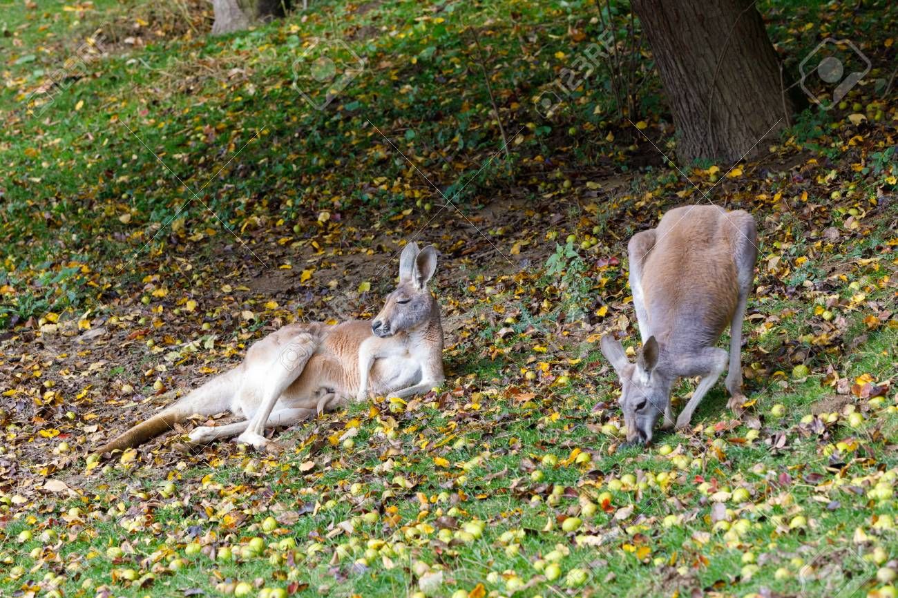 Family Of Red Kangaroo Megaleia Rufa One Of The Biggest Kangaroo With Small Baby