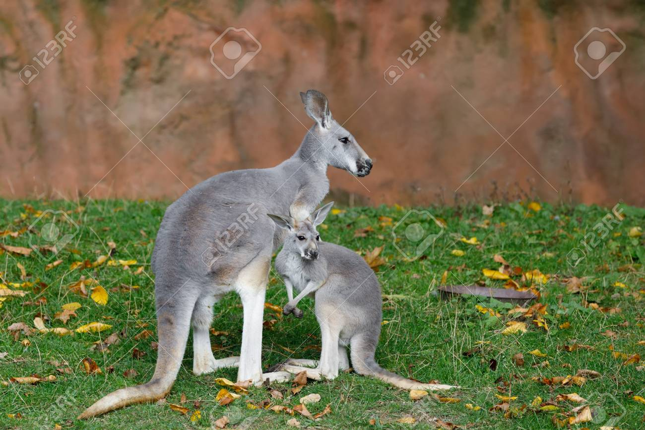 Red Kangaroo Megaleia Rufa One Of The Biggest Kangaroo With Small Baby Out Of