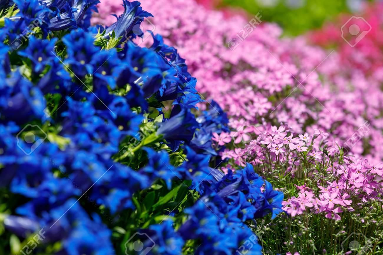 Trumpet gentiana blue flower in spring garden with pink flowers stock photo trumpet gentiana blue flower in spring garden with pink flowers in background mightylinksfo