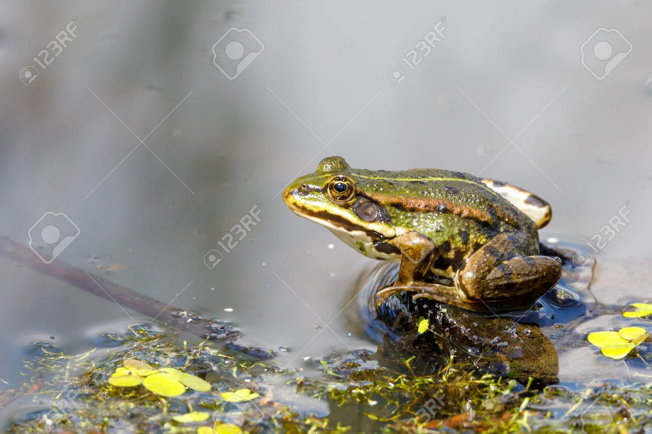 Beautiful marsh frog (Pelophylax ridibundus),largest frog native to Europe, looking out of the water on a pond. Czech, European wildlife - 96937009