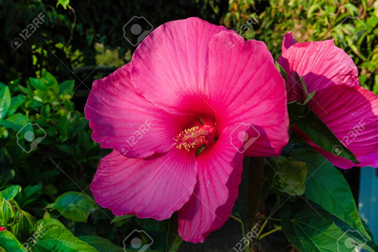 Blooming Big And Beautiful Swamp Rose Mallow Hibiscus Moscheutos