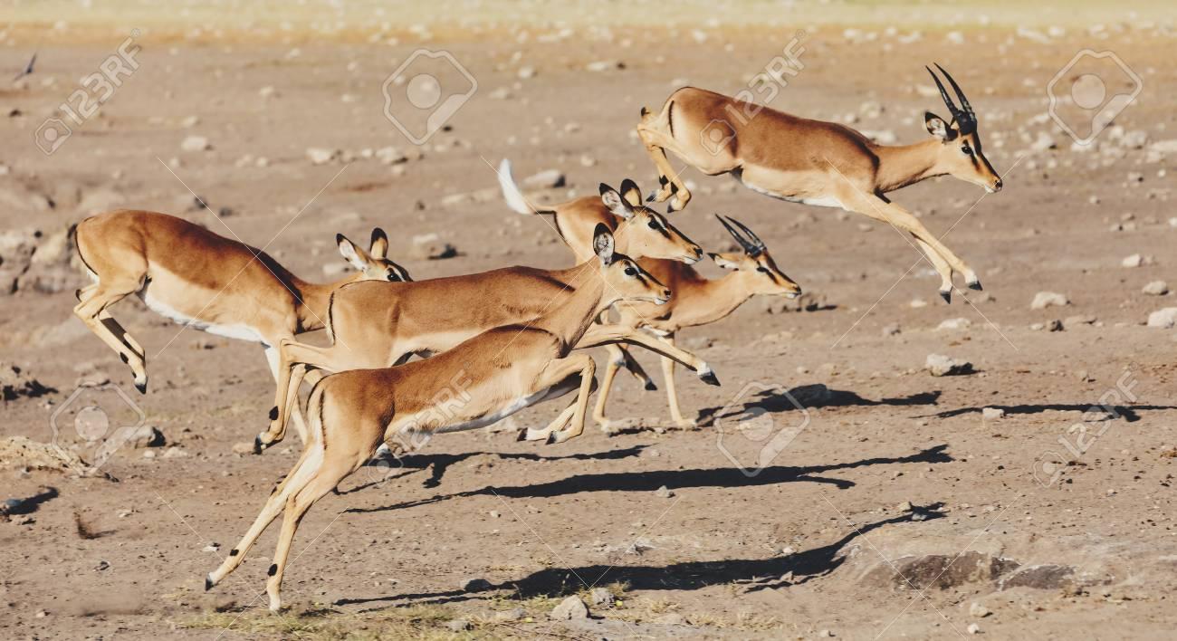 jumping Impala antelope female (Aepyceros melampus) Etosha Namibia, Africa safari wildlife and wilderness - 114919176