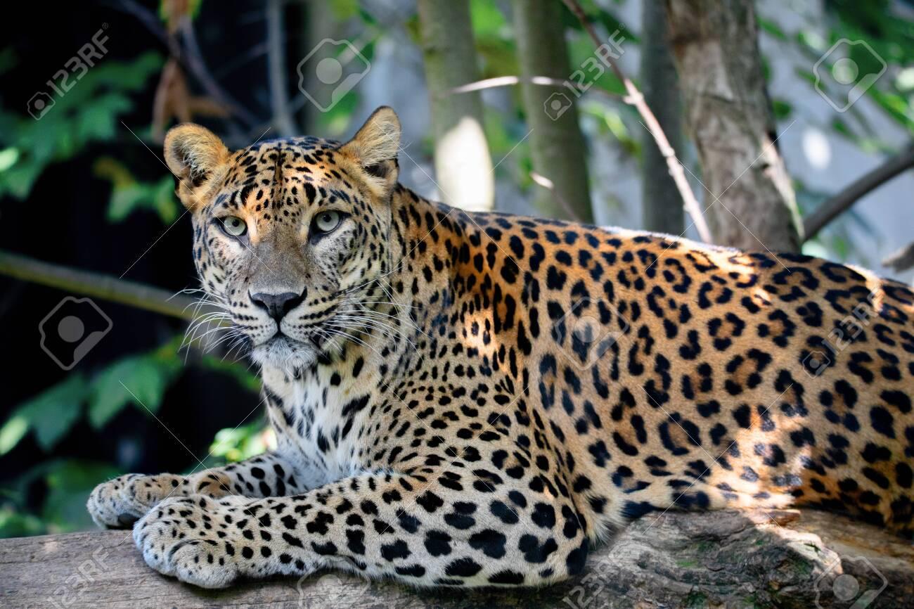 Sri Lanka, Ceylon Leopard, Panthera pardus kotiya on tree. Leopard is listed as Endangered on the IUCN Red List. Wild cat - 131838181