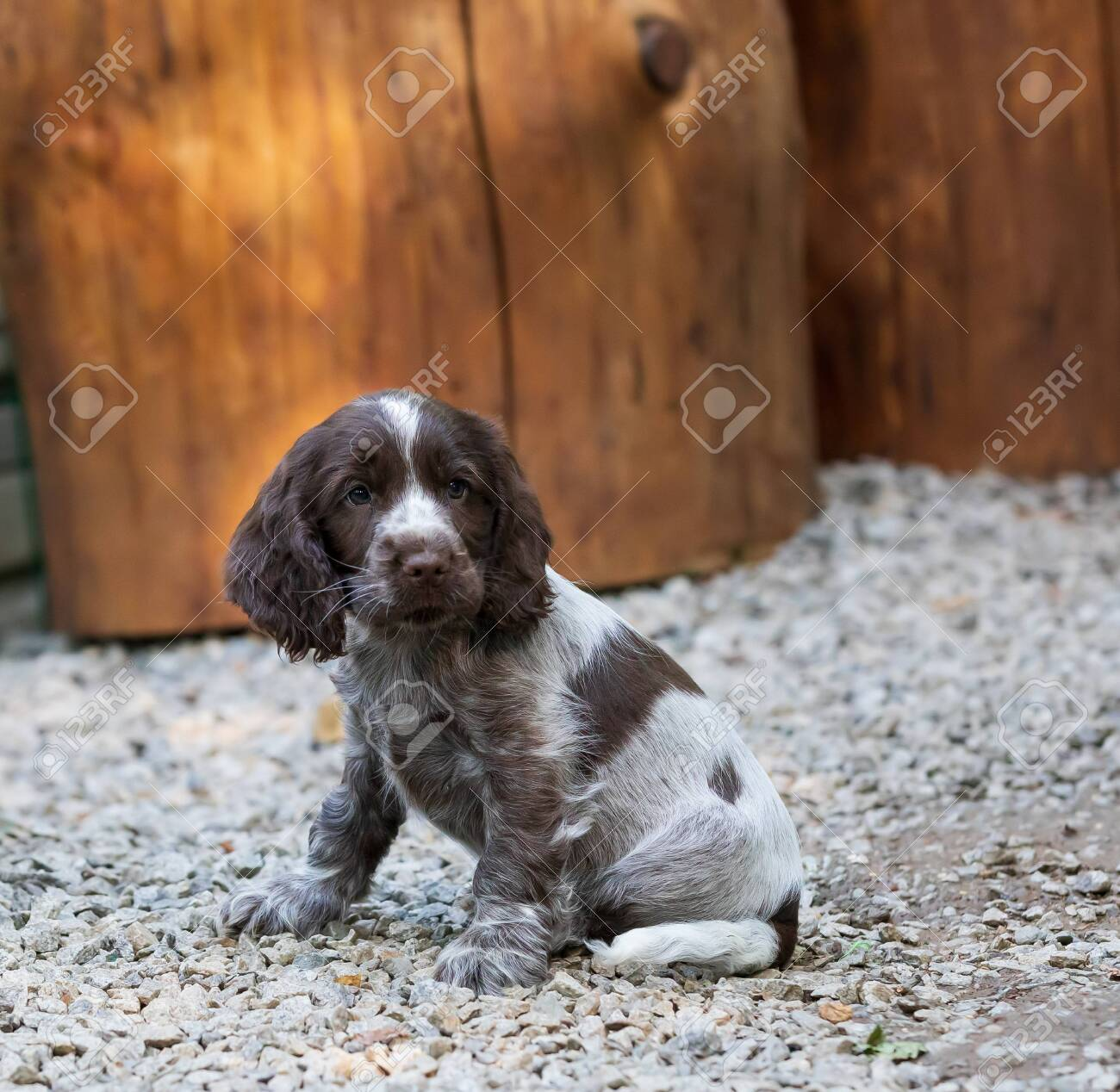 Portrait Of Dog English Cocker Spaniel Portrait Of Dog English Stock Photo Picture And Royalty Free Image Image 149974250