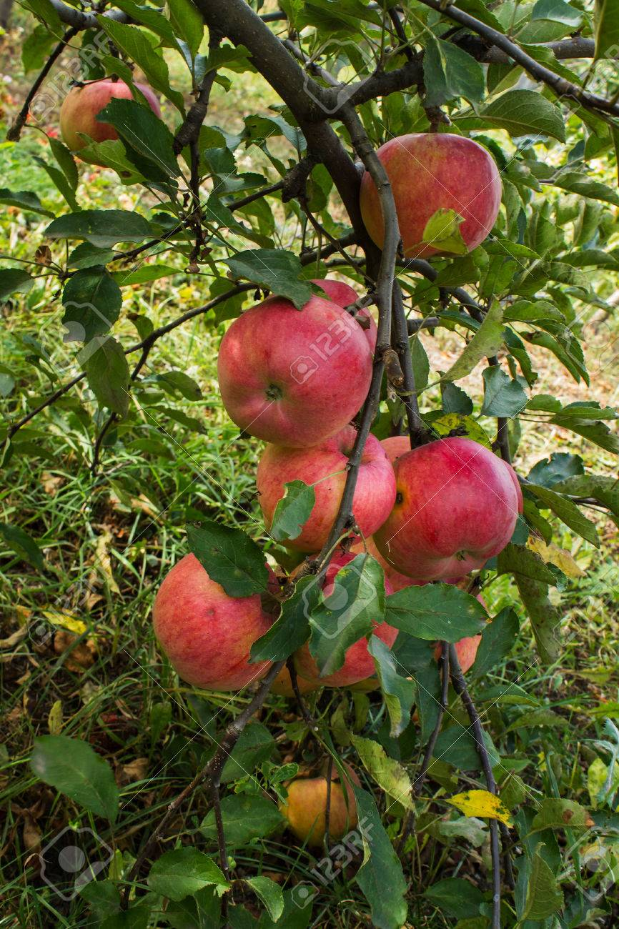 apple tree branch with apples and leaves disease scab