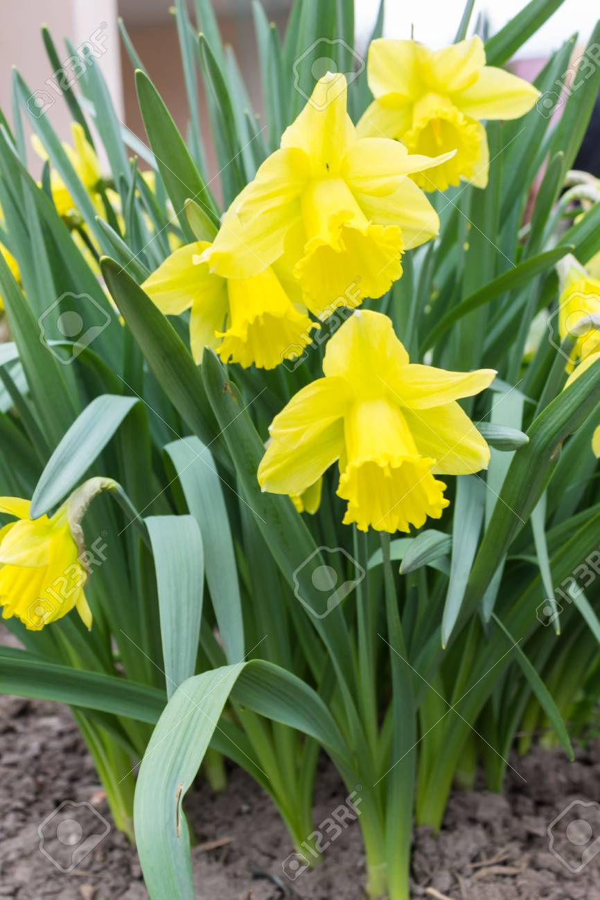 Large Bush Of Yellow Flowering Daffodils On The Flowerbed Large