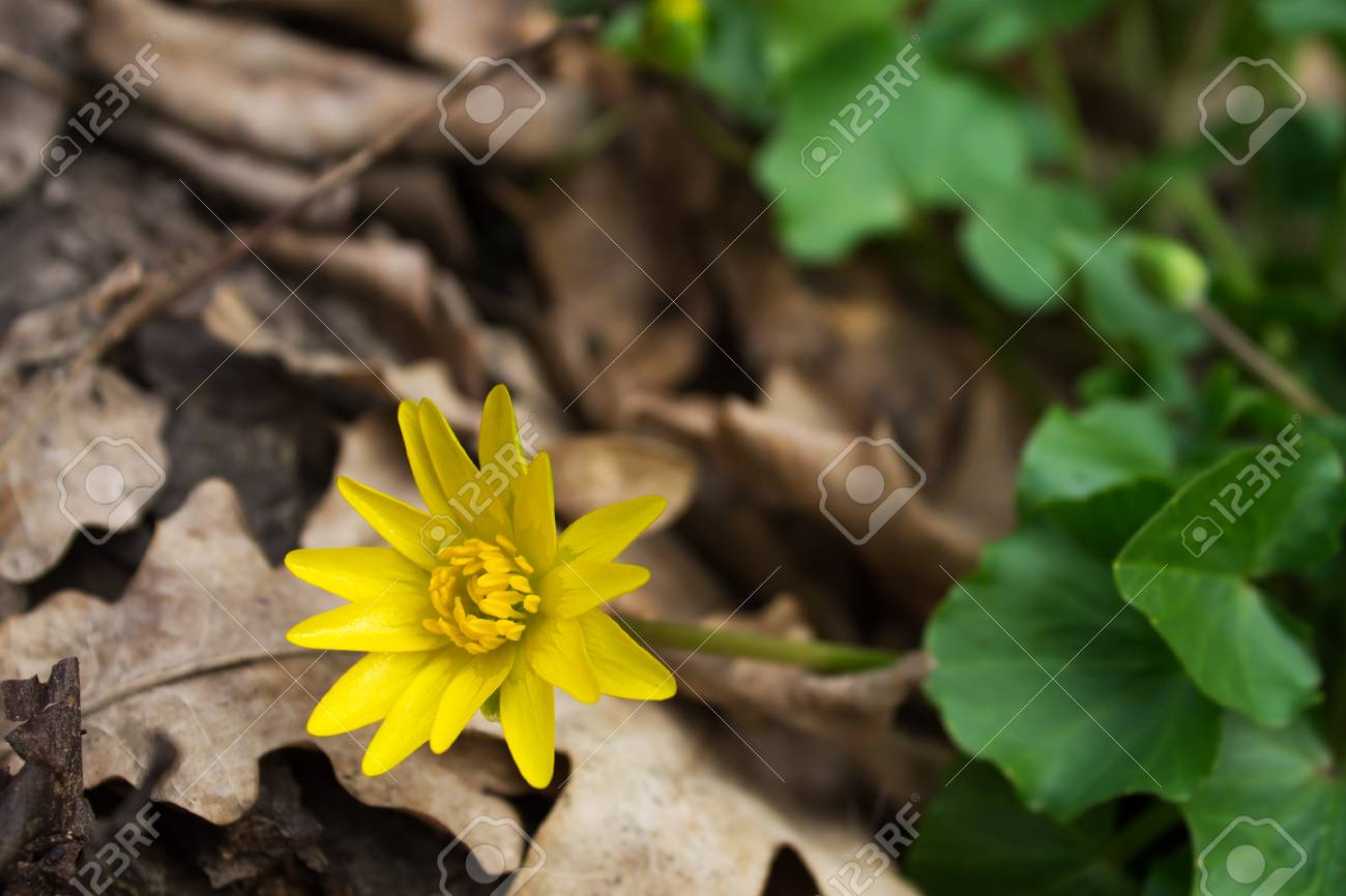 Yellow Flower Caltha Palustris Poisonous Plant Shallow Depth