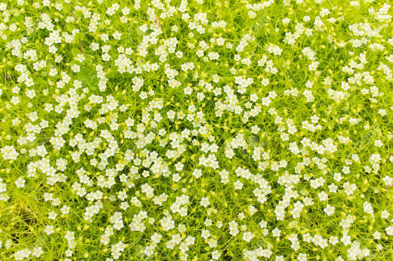 Bright Colorful Background Of A Ground Cover Plant With Small