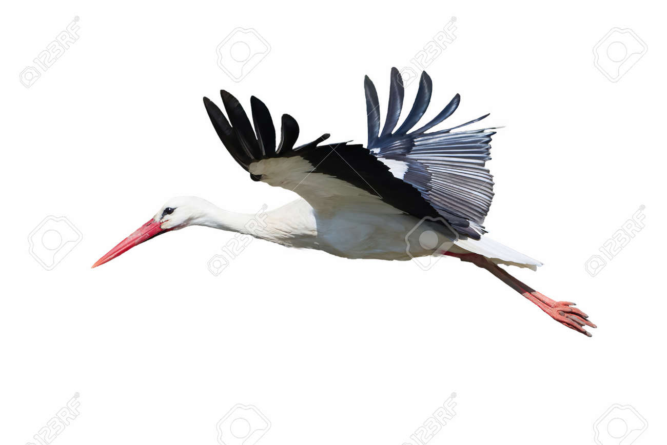 White Stork isolated on white background ( Ciconia ciconia ) - 169189325