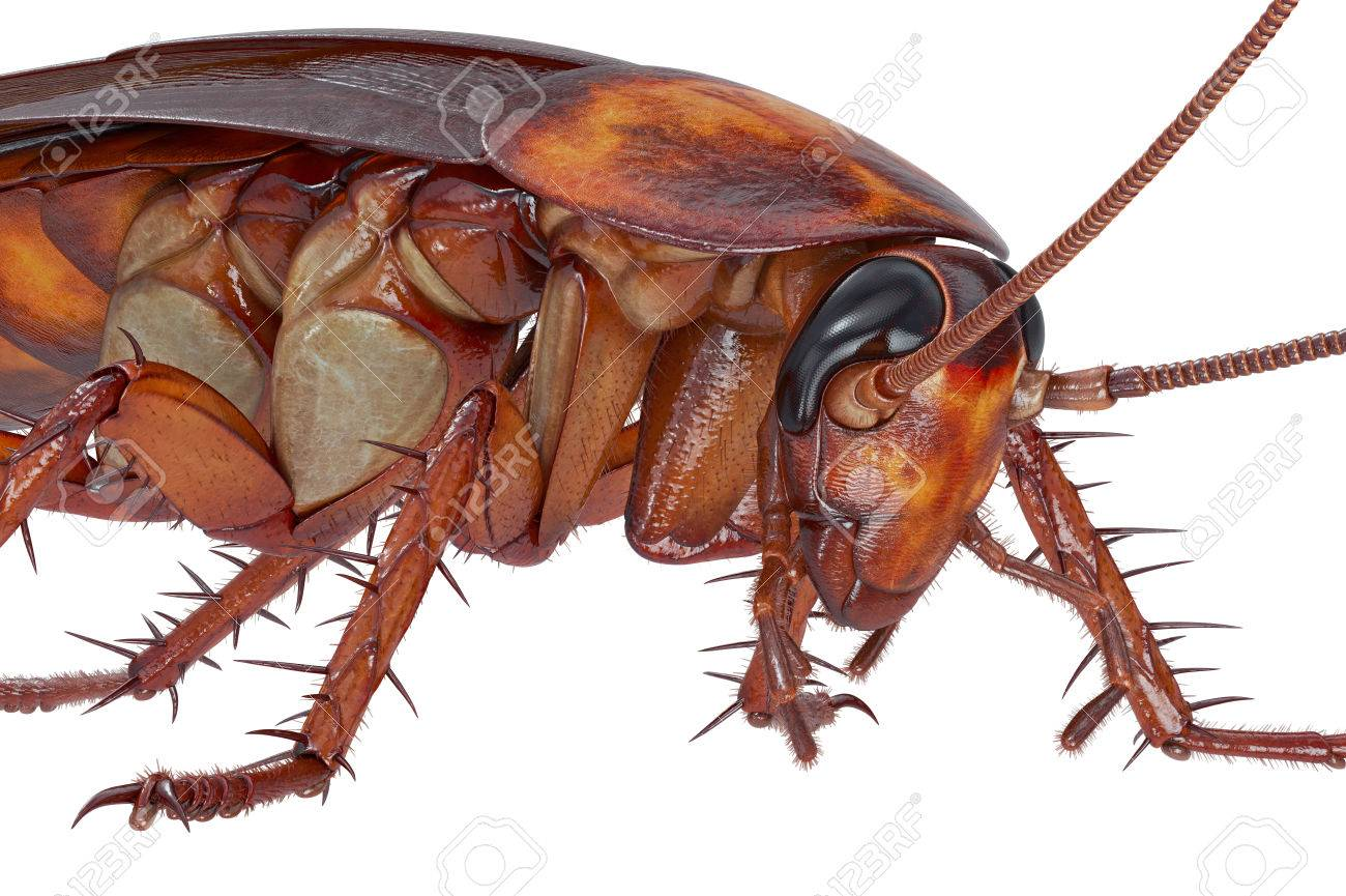 American cockroach bite