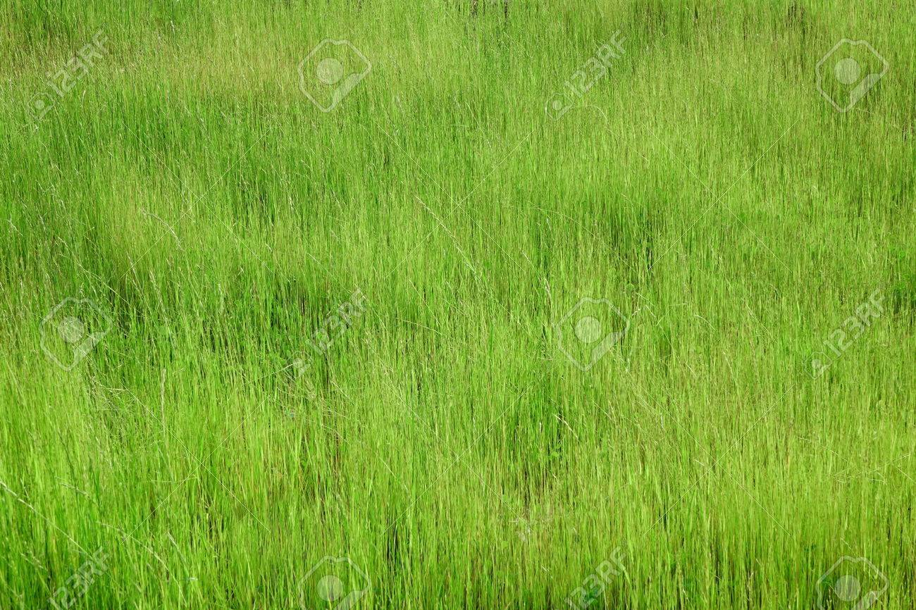 tall grass texture. Fresh Green Tall Grass On The Alpine Meadow At Summertime Background Or Texture Stock Photo -