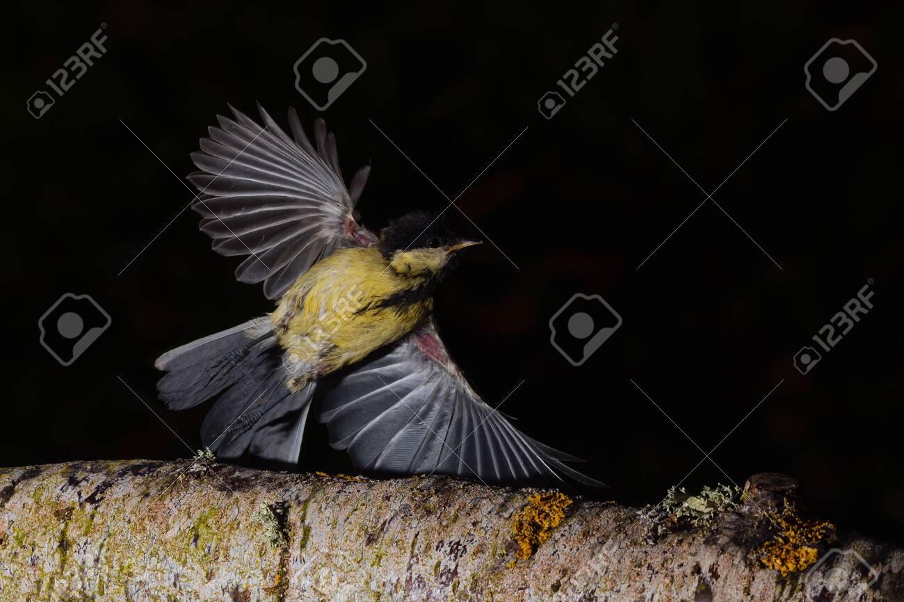 Great tit flying over a branch in Espejo, Alva - 153716762
