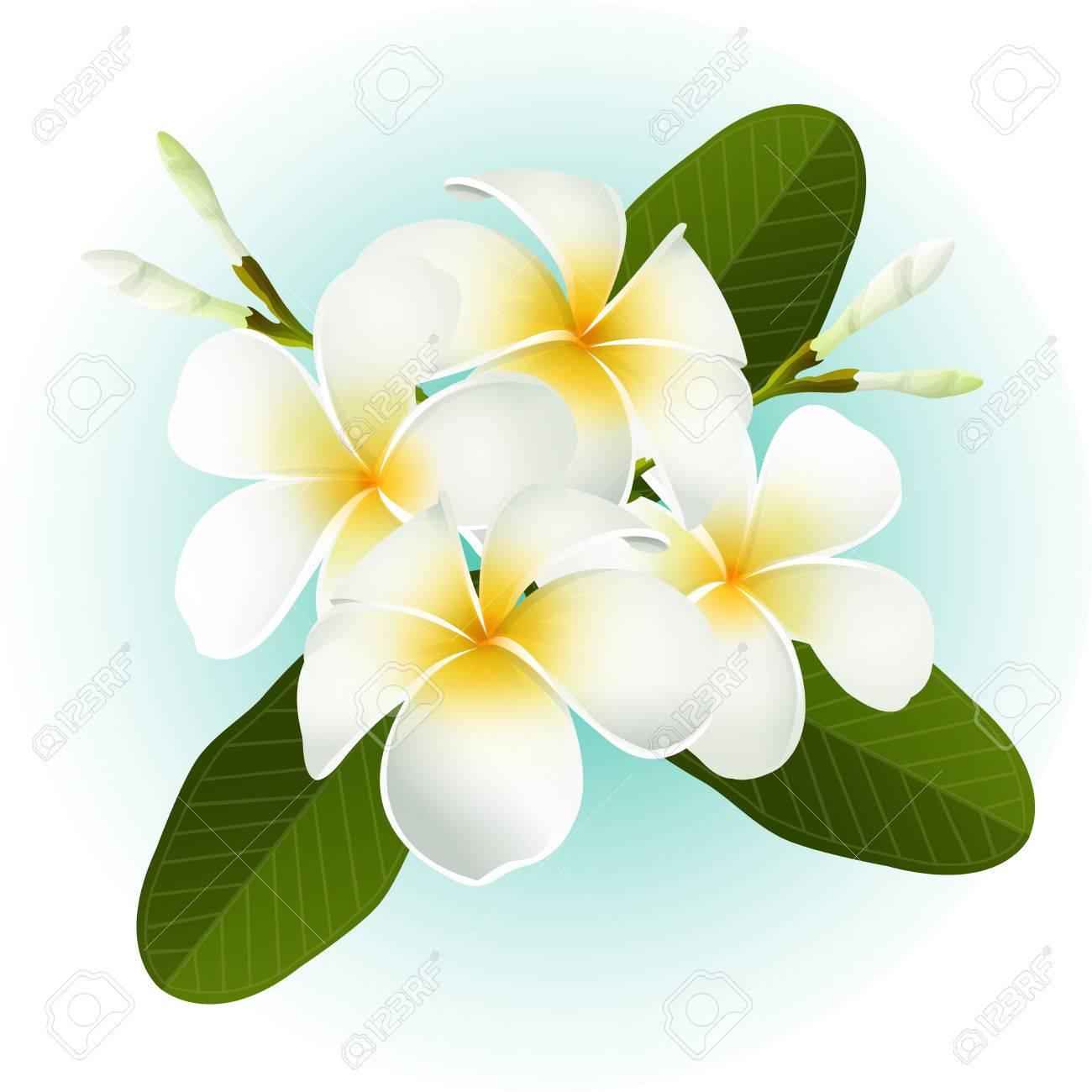 白いフランジパニ プルメリア南国の花イラストのイラスト素材 ベクタ Image