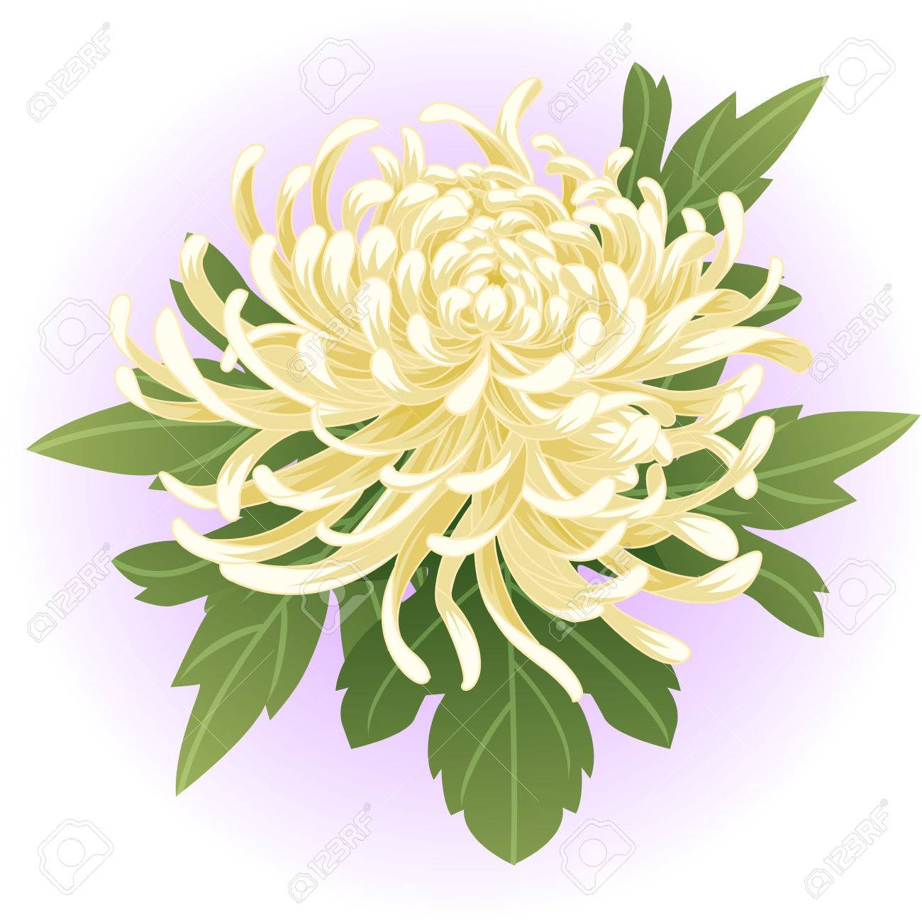 White Chrysanthemum Flower Illustration Royalty Free Cliparts