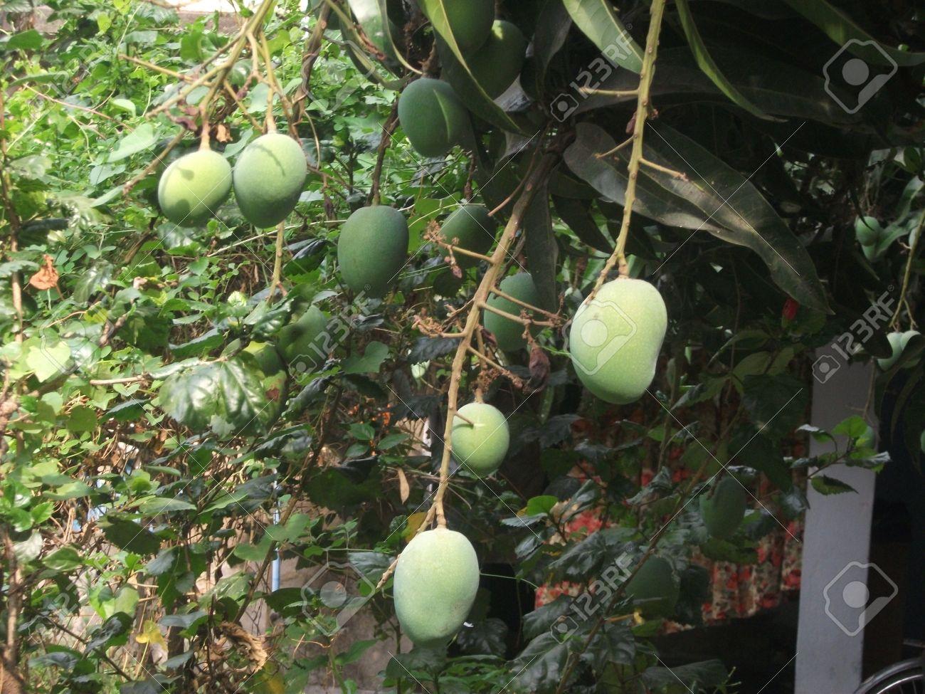 el mango es una fruta nacional de la india pakist n y filipinas rh es 123rf com fruta nacional de colombia fruta nacional de colombia